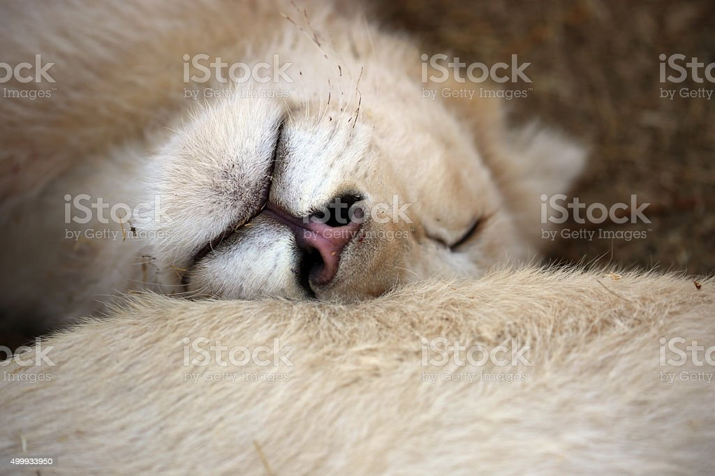 South Africa: Five Month Old Lion Cub stock photo
