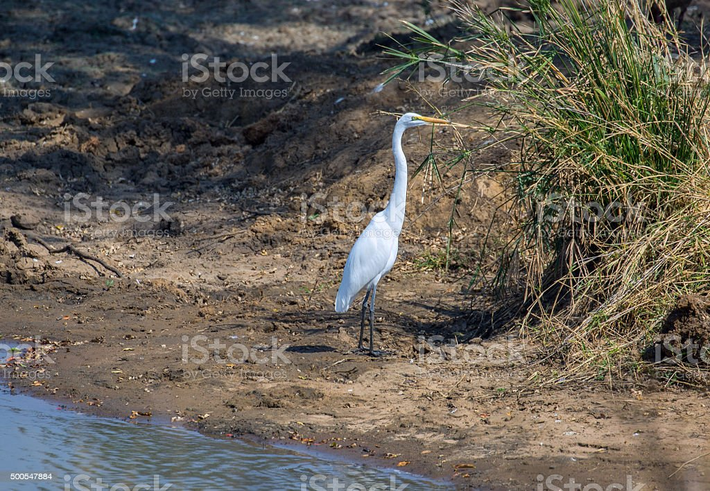 South Africa: Great Egret in Kruger National Park stock photo