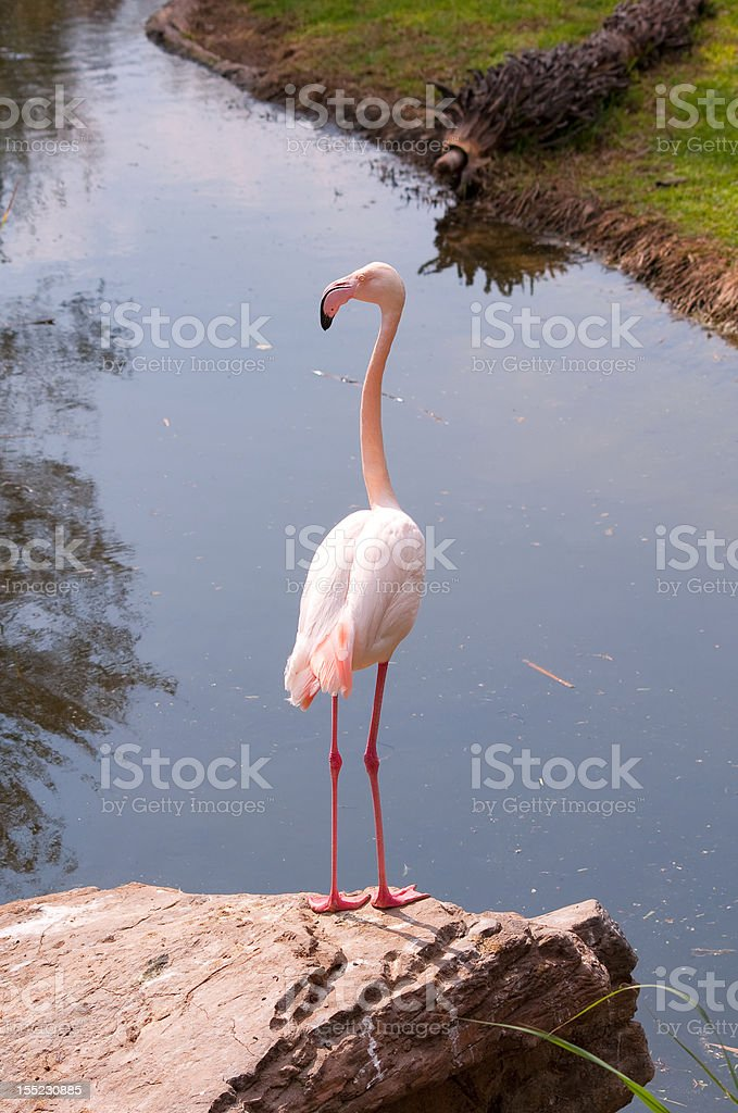 South Africa - Greater Flamingo royalty-free stock photo