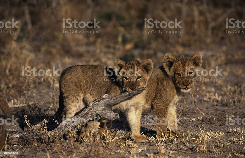 South Africa, Lion cubs. royalty-free stock photo