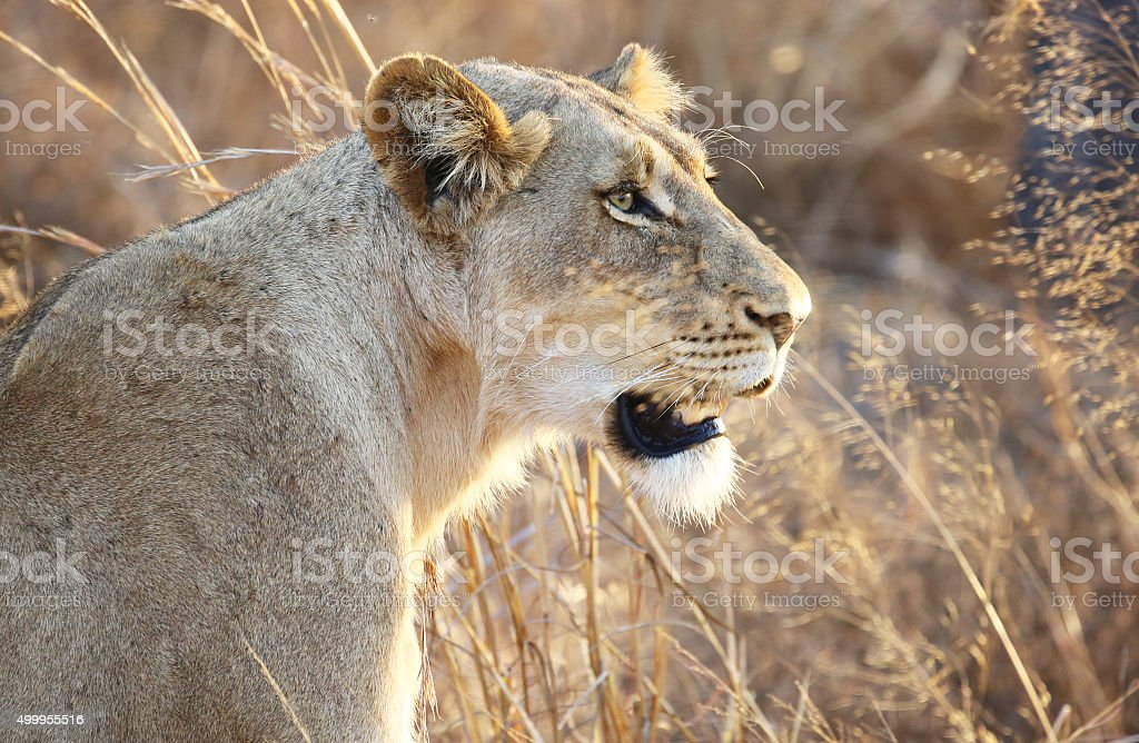 South Africa: Lioness at Kruger National Park stock photo