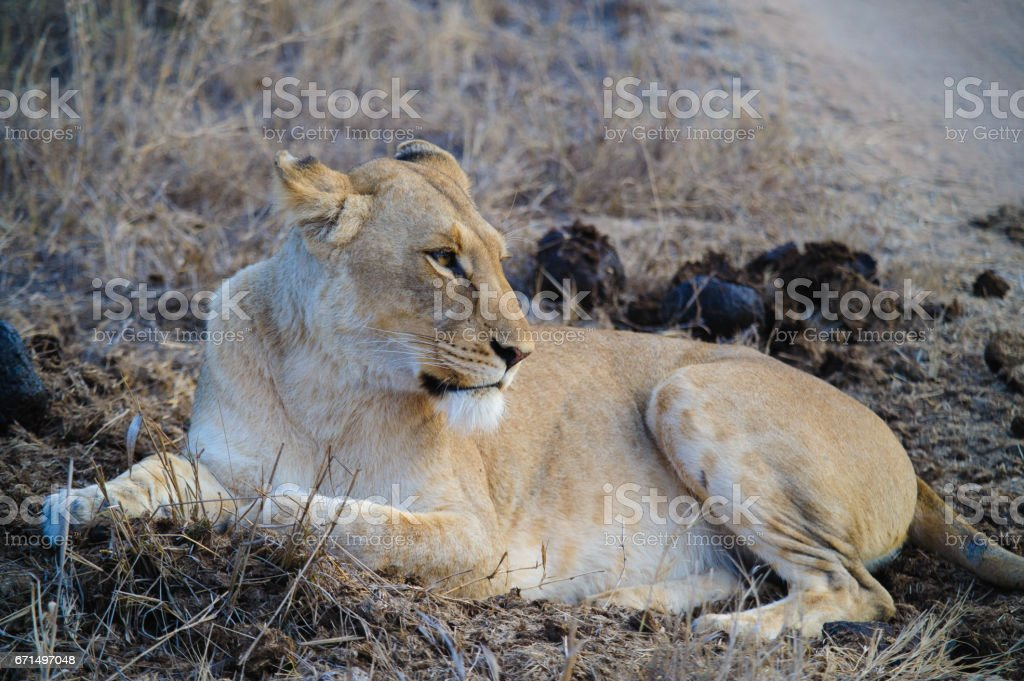 South Africa lioness on the savannah stock photo