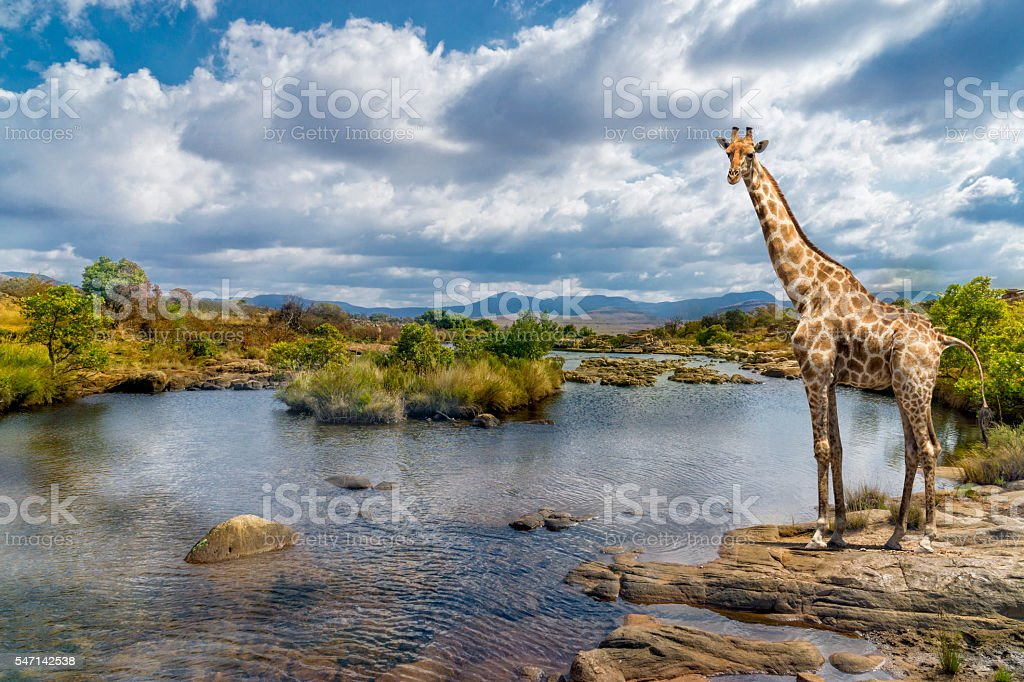 South africa river giraffe stock photo