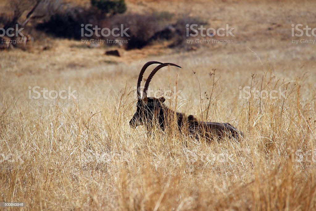 South Africa: Sable Antelope near Krugersdorp stock photo