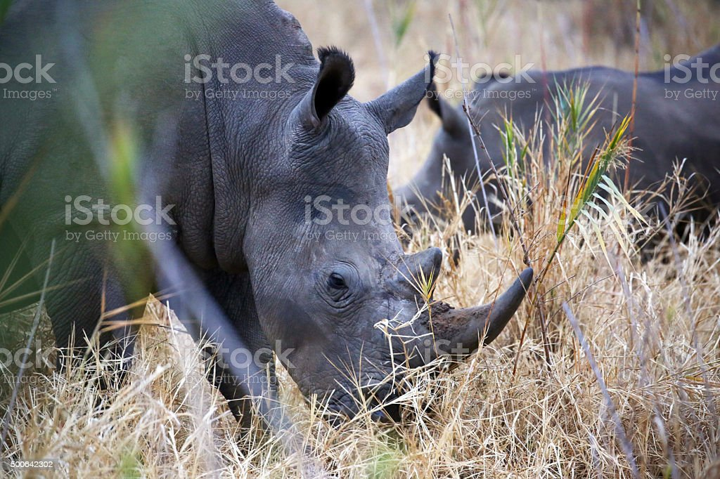 South Africa: Southern White Rhinoceros in Kruger National Park stock photo