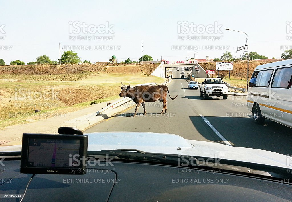 South Africa, straying cow, road, cars, remote, Mpumalanga, Amersfoort, stock photo