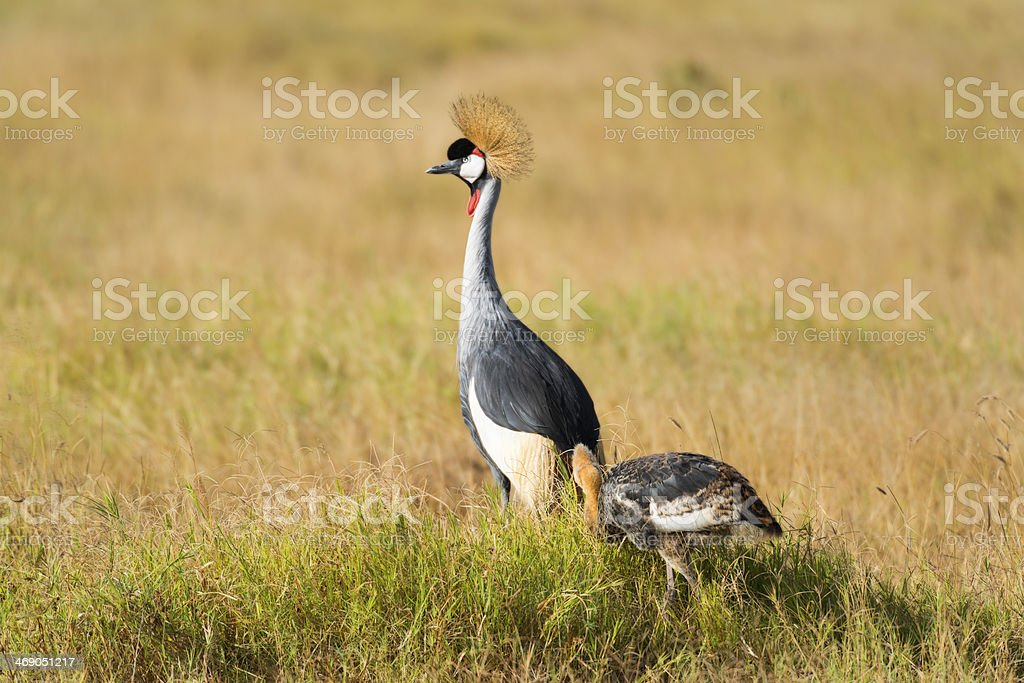 South African Crowned Crane with chick royalty-free stock photo