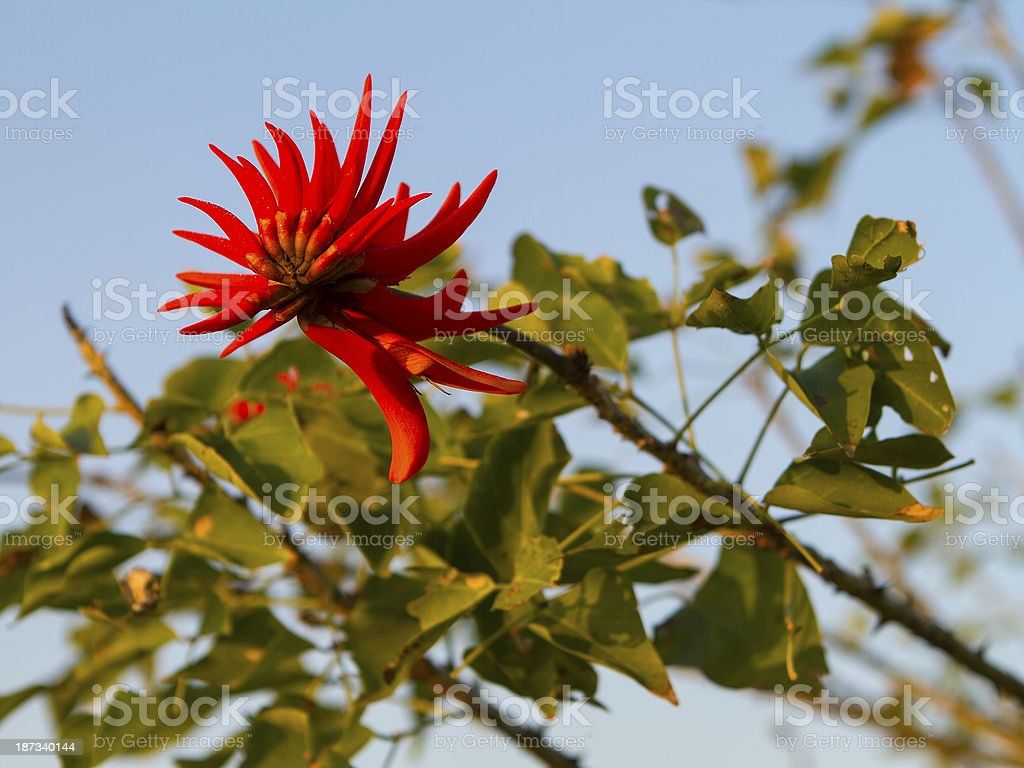 South African Fire Lilly stock photo