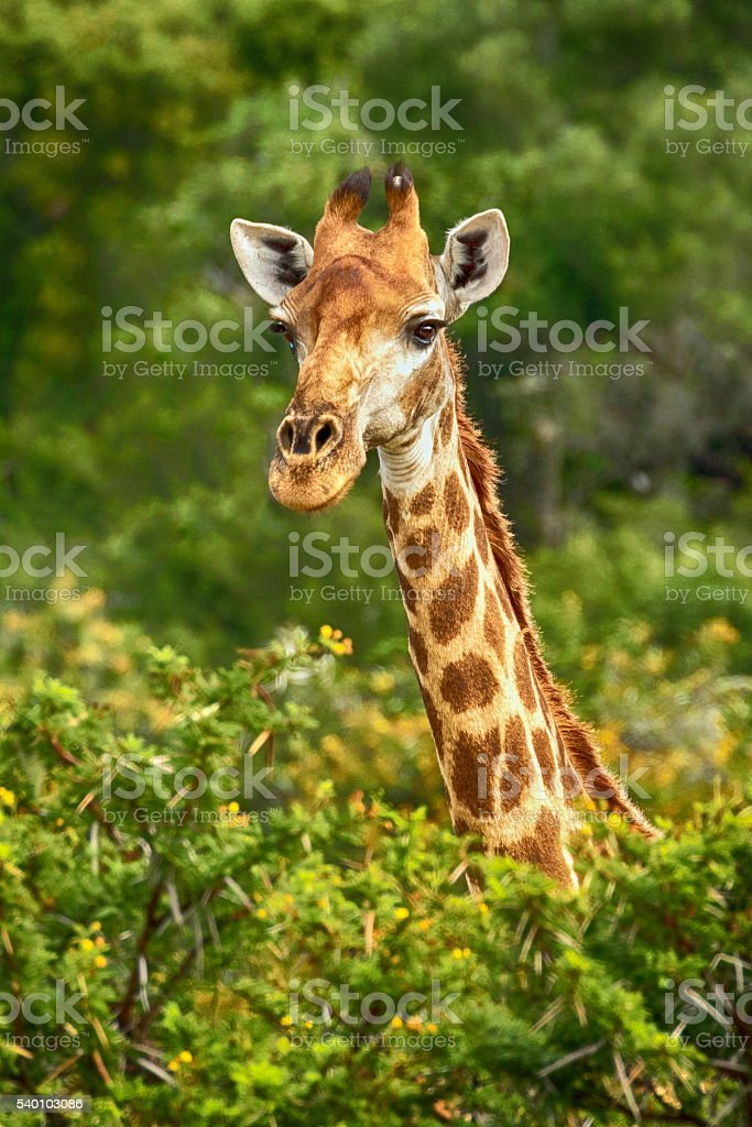 South African Giraffe (Giraffa camelopardalis) Above The Tree Canopy stock photo