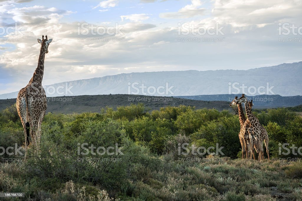 South African Giraffe Standing Watch royalty-free stock photo