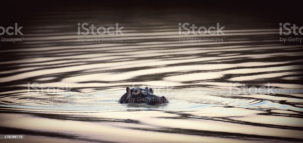 South African Hippopotamus Swimming Lazily By The Viewer stock photo