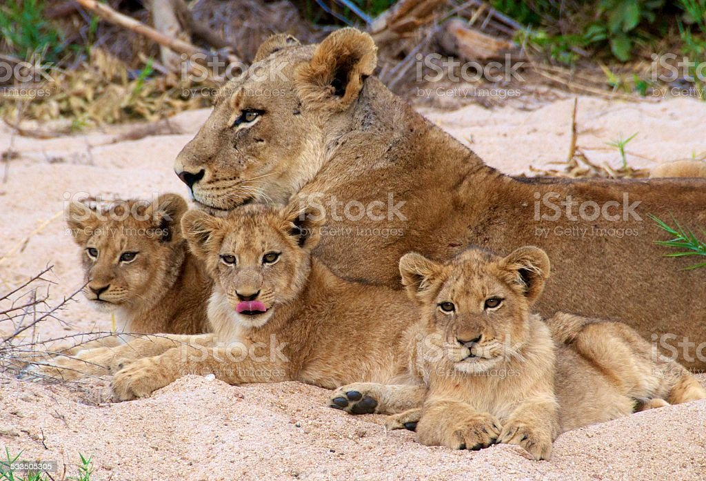 South African Lion Series #1 Mother and Cubs stock photo