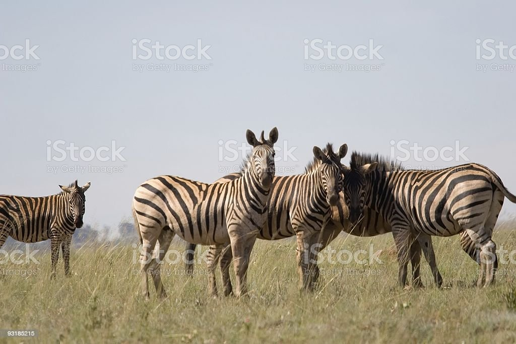 south african zebra stock photo