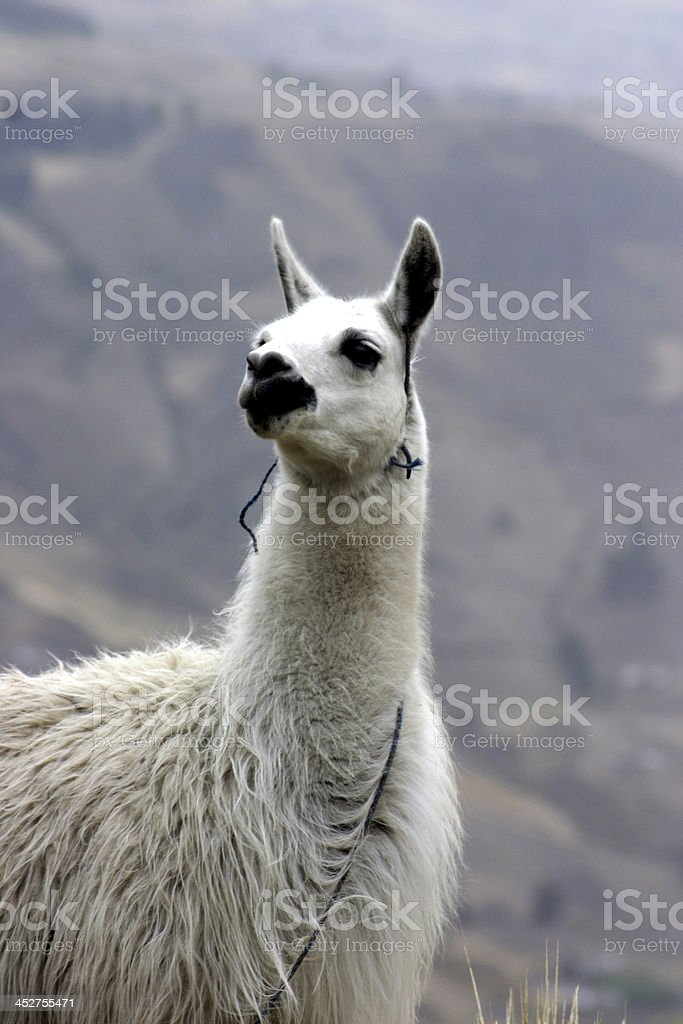 lama sudamericano royalty-free stock photo