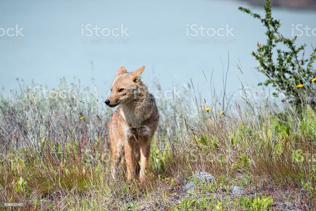 South American gray fox stock photo