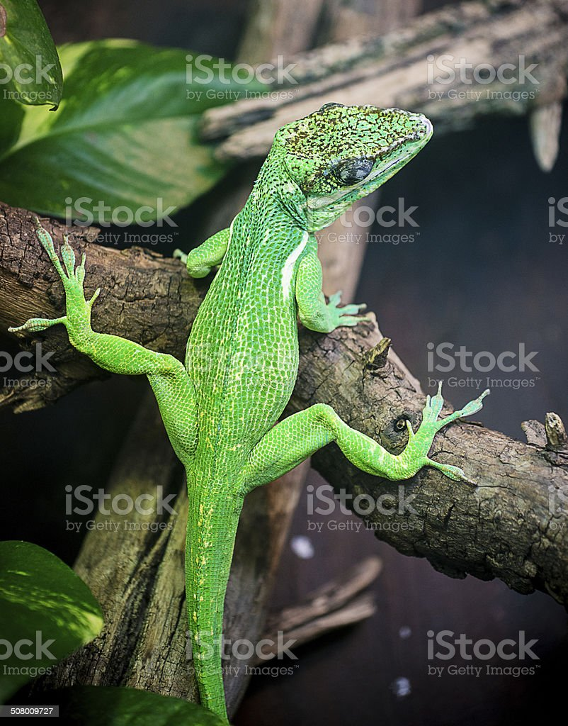 South American green iguana lizard climbing up the trees stock photo