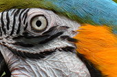 South American Macaw facial abstract