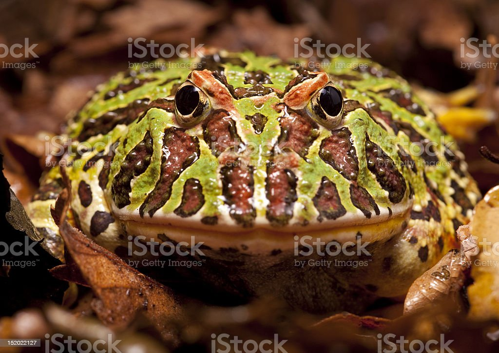 South American Ornate Horned Frog stock photo