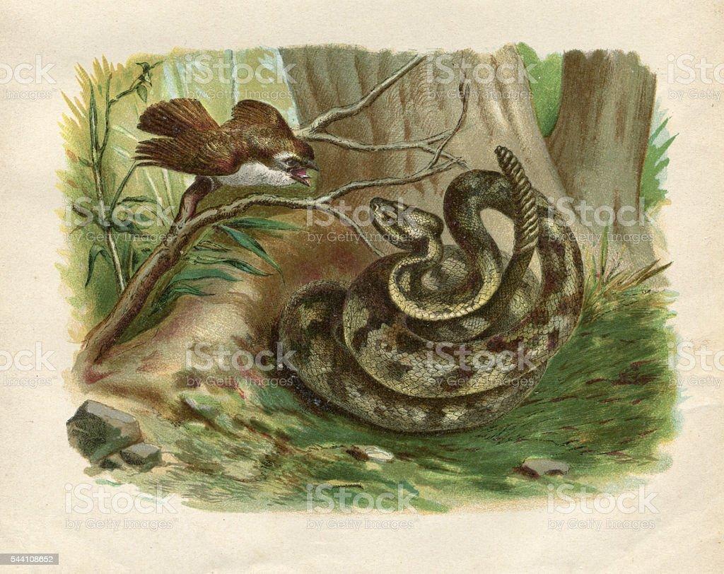 South american rattlesnake engraving 1881 stock photo