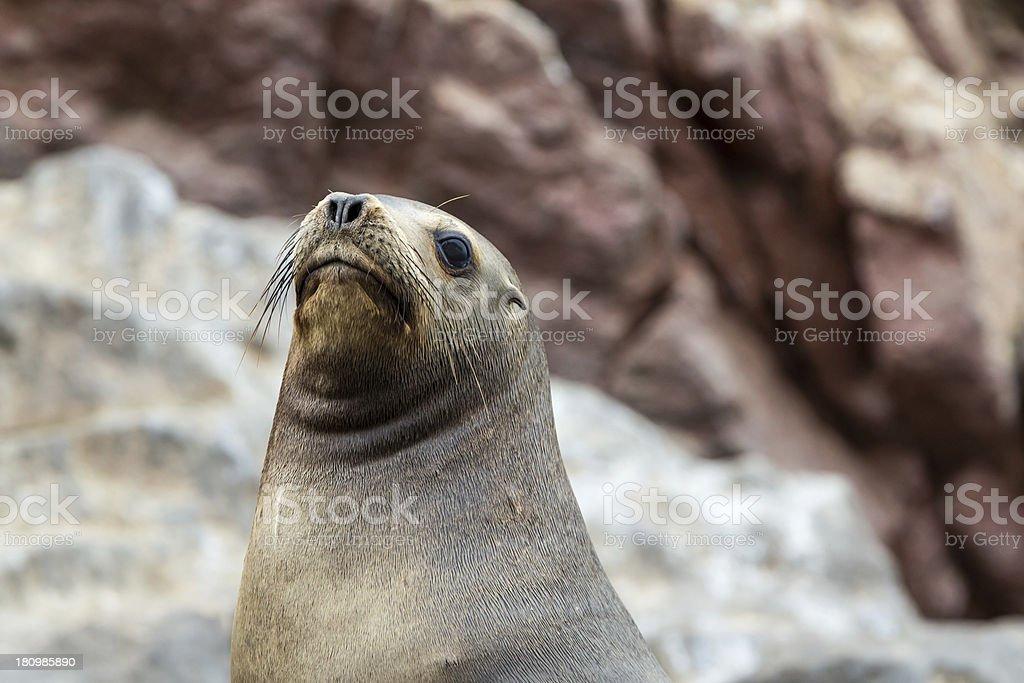 South American Sea lion ?? Ballestas Islands in Paracas. Peru. stock photo