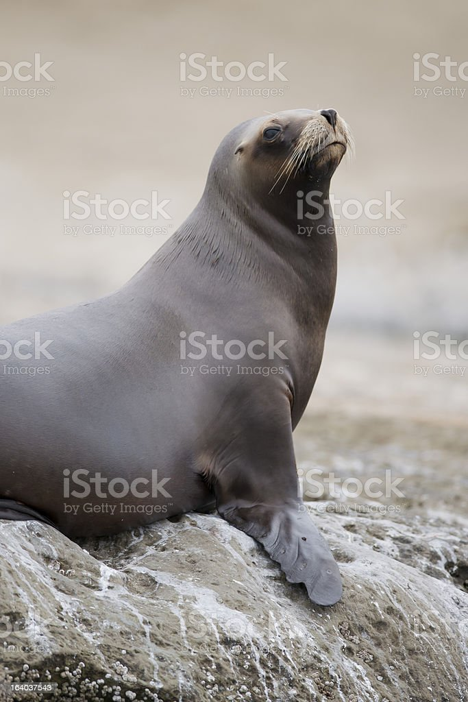 South American Sea Lion royalty-free stock photo