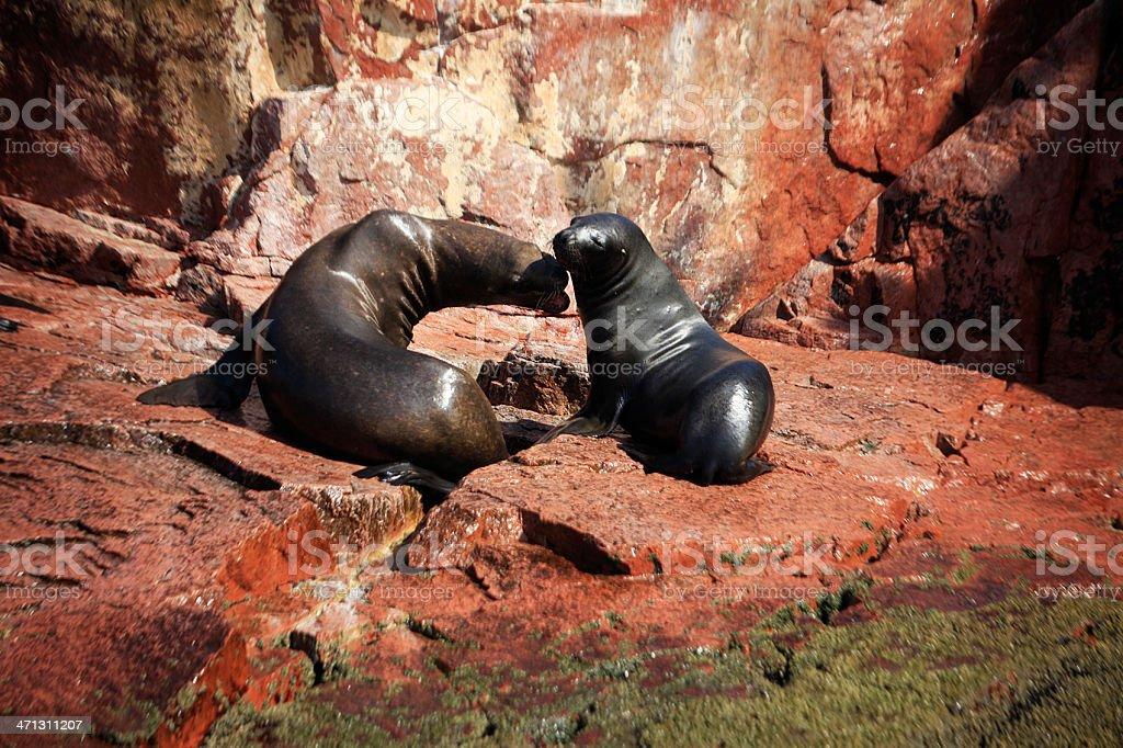 South American Sea Lions - Ballesta Islands, Peru stock photo