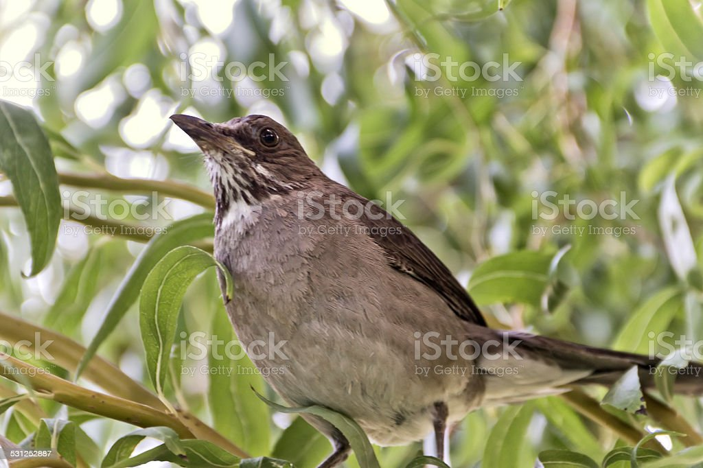 South American songthrush stock photo