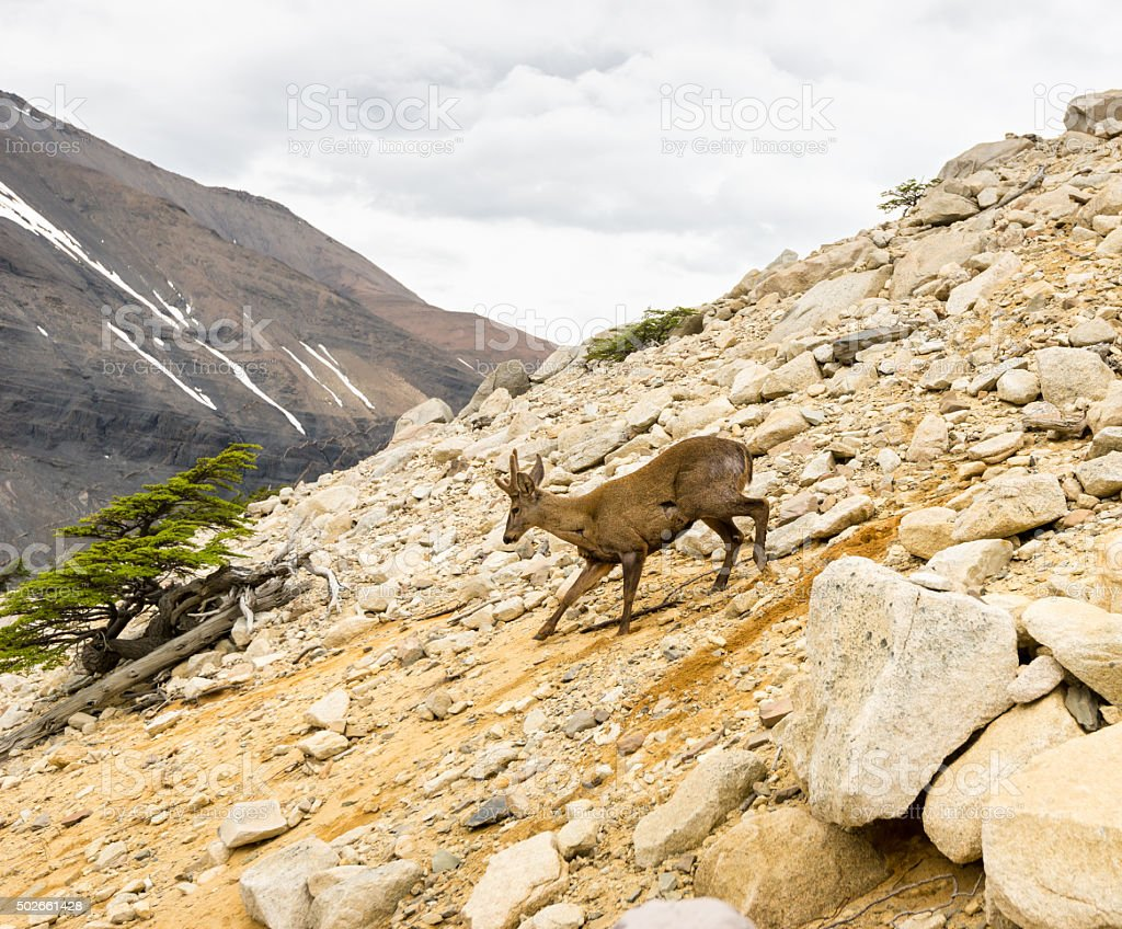 South Andean Deer Huemul in Torres del Paine, Patagonia, Chile stock photo