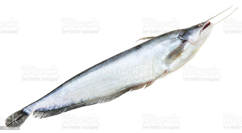 South Asian Boal fish stock photo