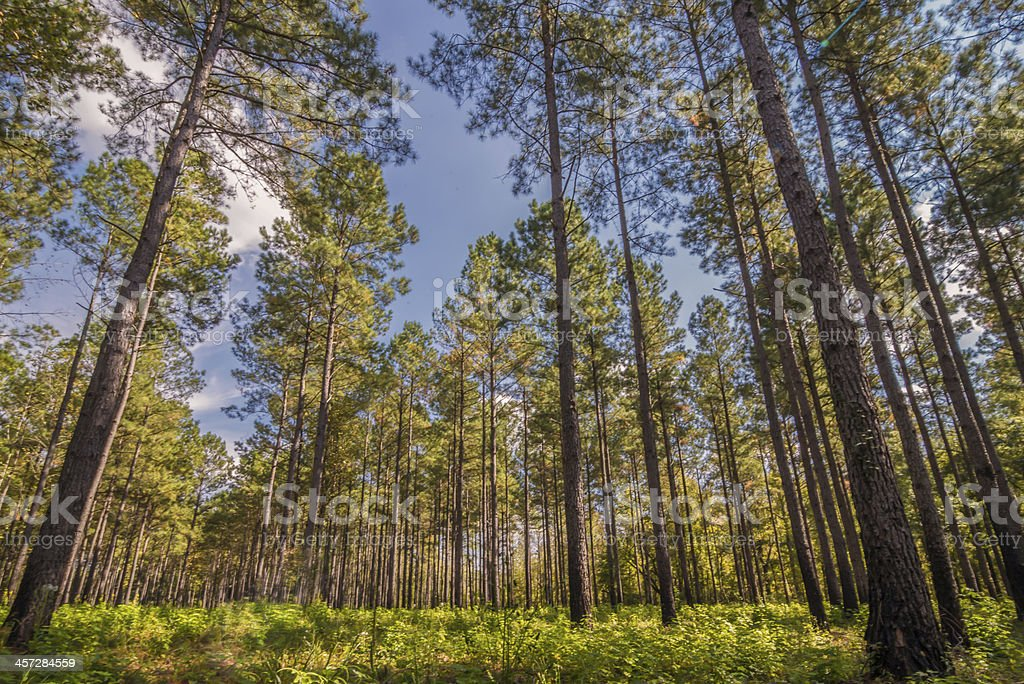 South Carolina Pine stock photo