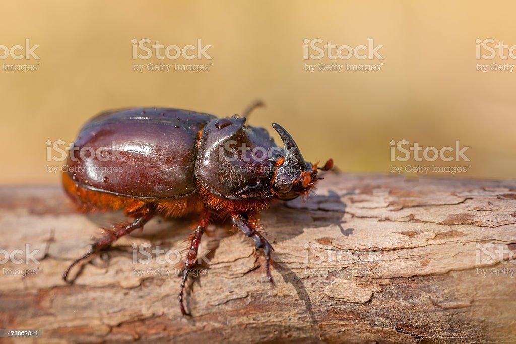 South European Rhinoceros Beetle stock photo