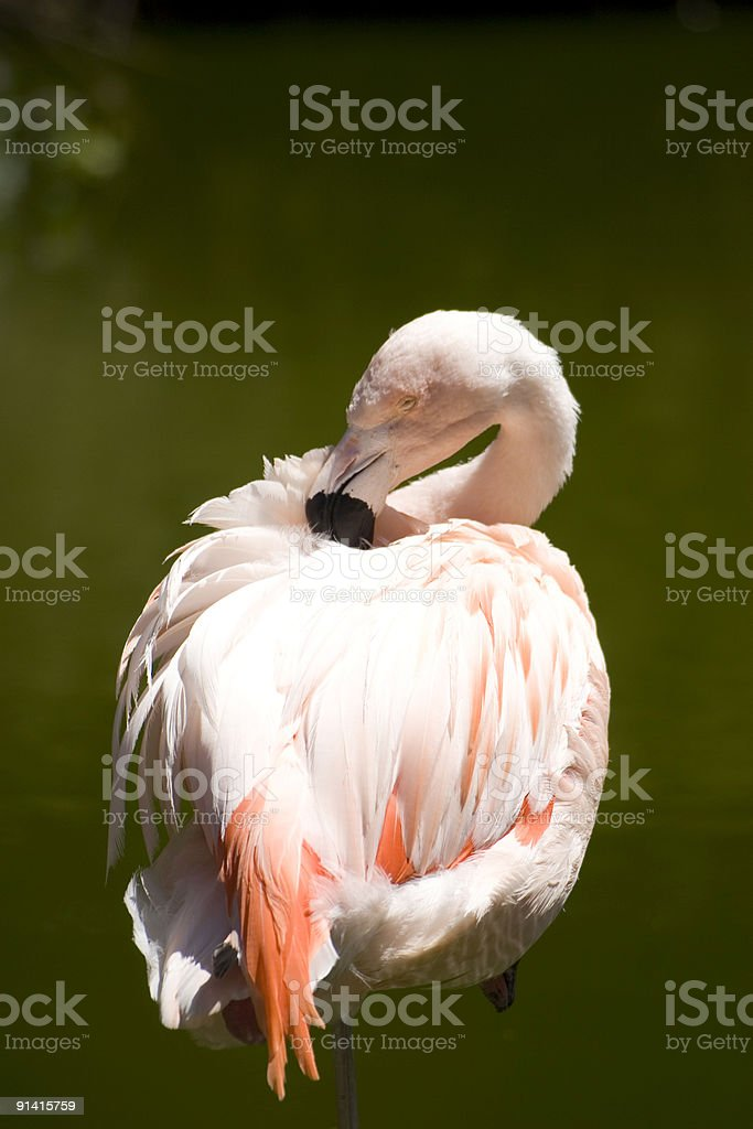South Florida Flamingo standing in a lagoon royalty-free stock photo