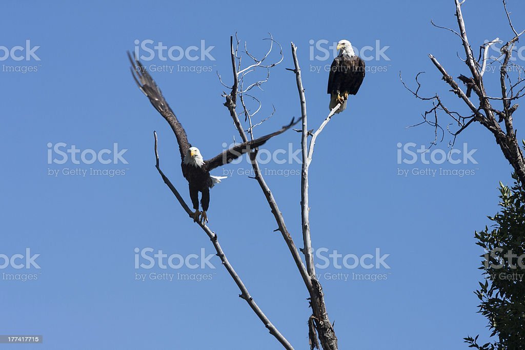 South Fork Eagles royalty-free stock photo