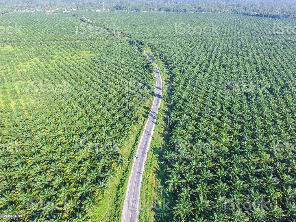 South Sulawesi Palm Oil Plantation stock photo