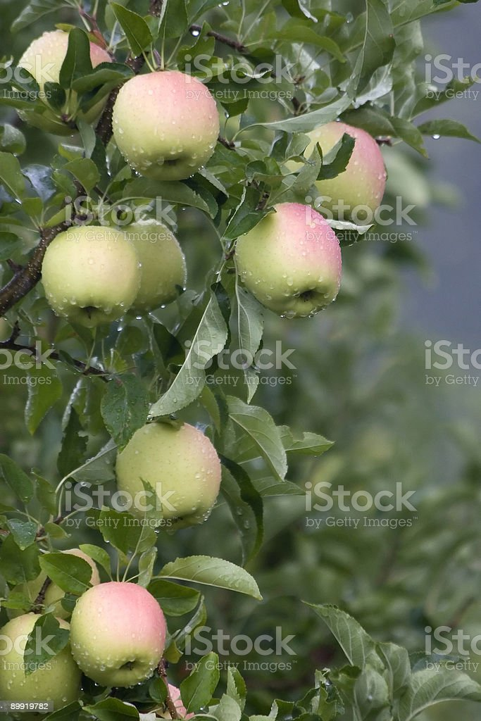 South Tyrolean apples on tree royalty-free stock photo
