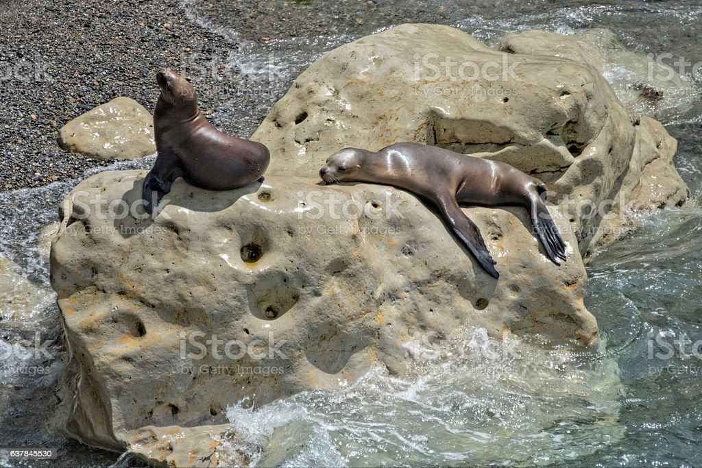 South-American Sea Lion stock photo