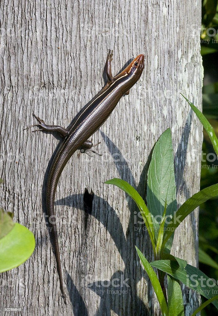 Southeastern Five-lined Skink on a tree. stock photo