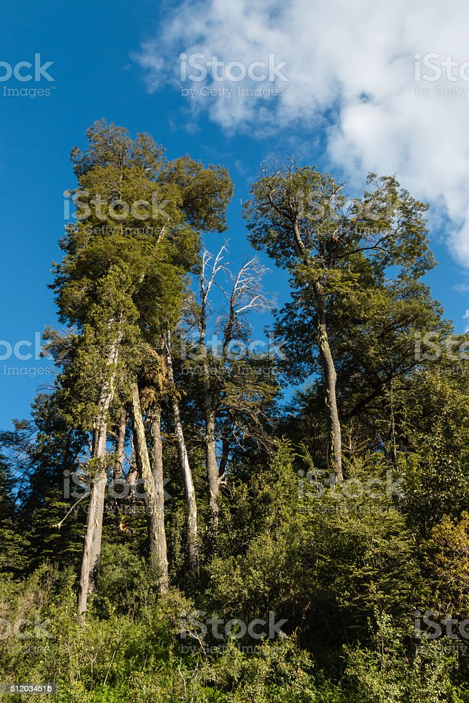 southern beech trees stock photo