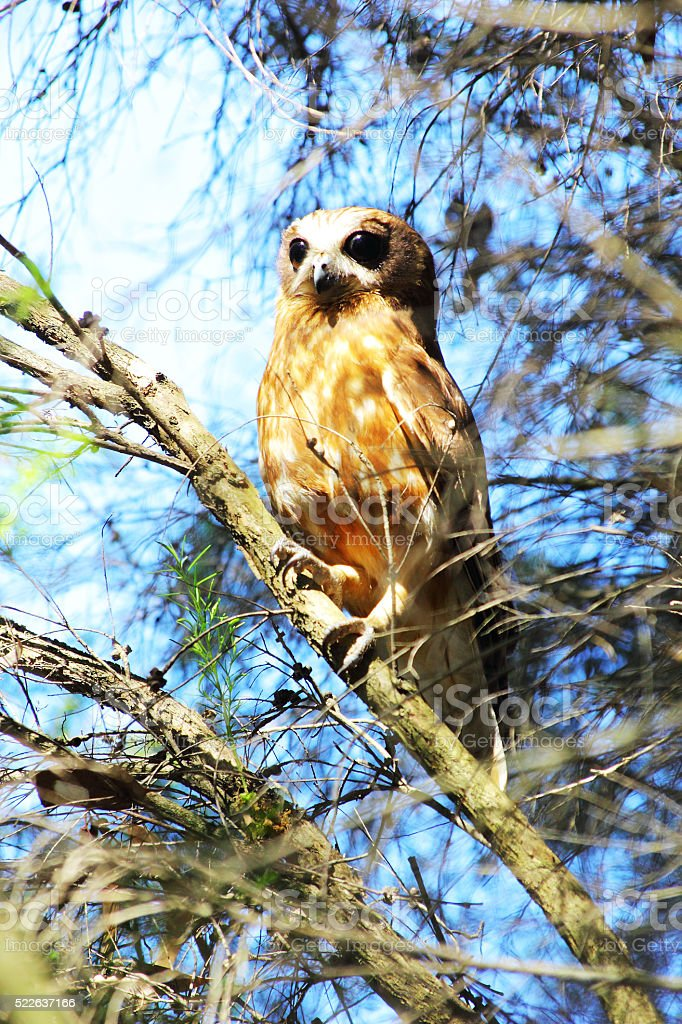 Southern Boobook Owl observing the Forest, Western Australia stock photo