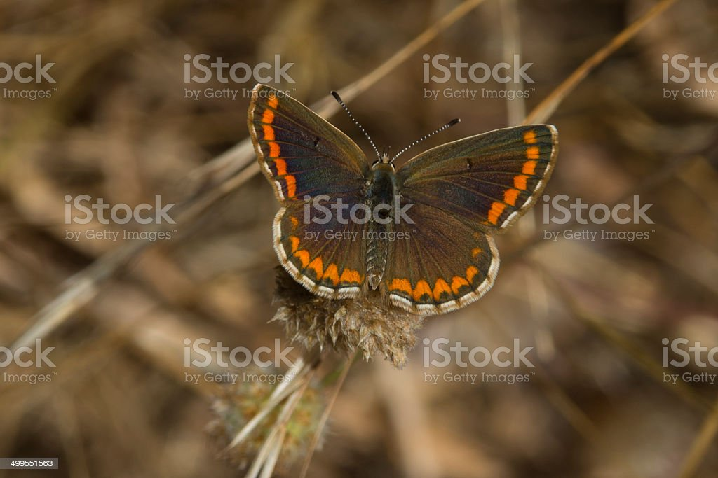 Southern Brown Argus royalty-free stock photo