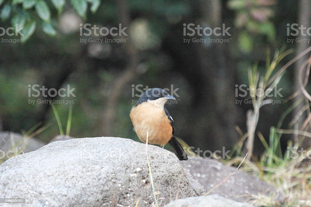Southern Brubru in Royal Natal National Park, South Africa royalty-free stock photo