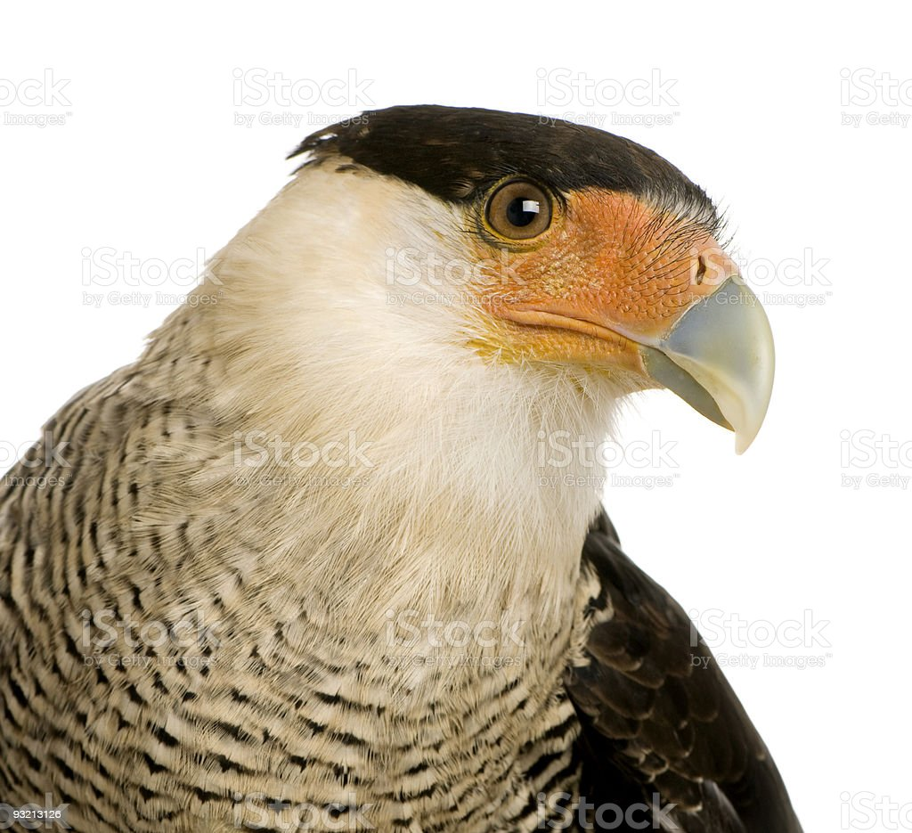 Southern Caracara (3 years) - Polyborus plancus stock photo