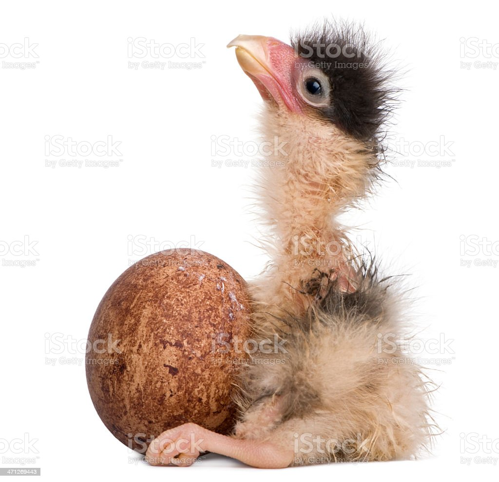 Southern Caracaras, 12 hours old, chick sitting with egg. royalty-free stock photo