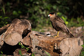 Southern crested caracara perched on sawn logs