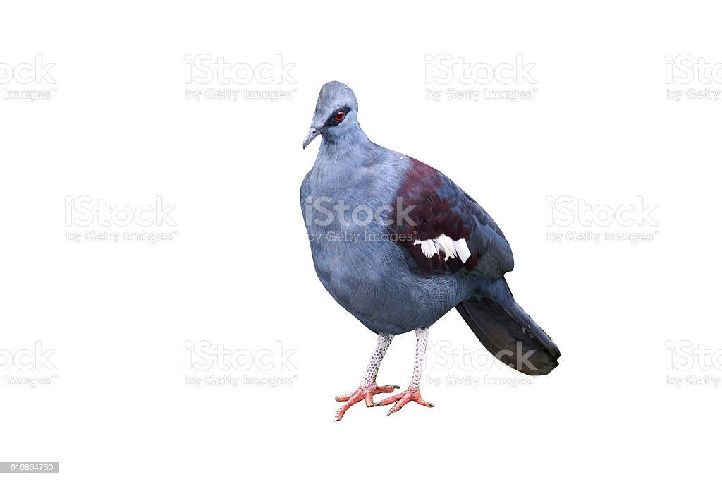 Southern crowned-pigeon, Goura scheepmakeri stock photo