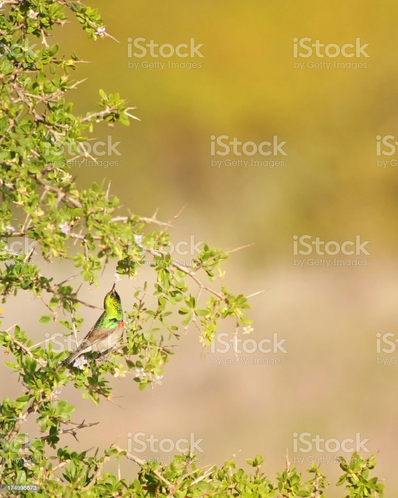 Southern Double-collared Sunbird Feeding royalty-free stock photo