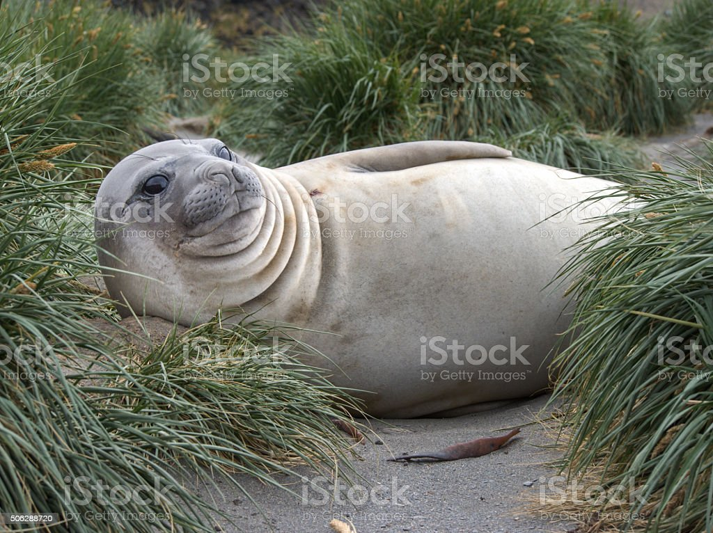 Southern elephant seal in South Georgia Antarctica stock photo