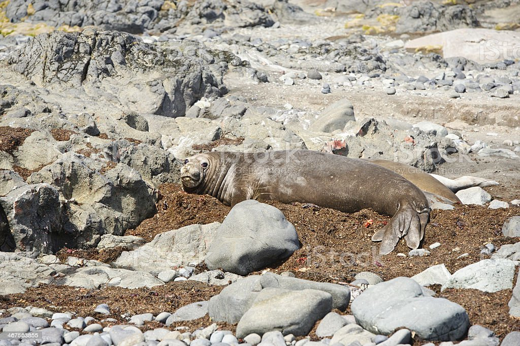 Southern elephant seal royalty-free stock photo