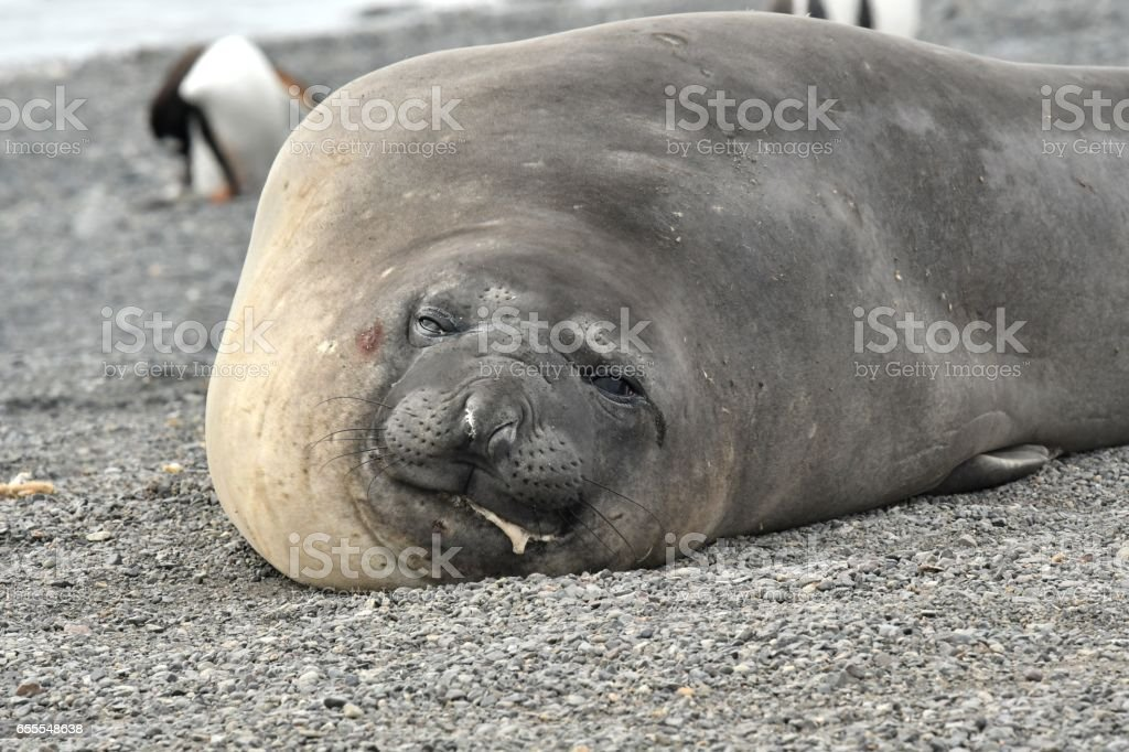 Southern Elephant Seal stock photo