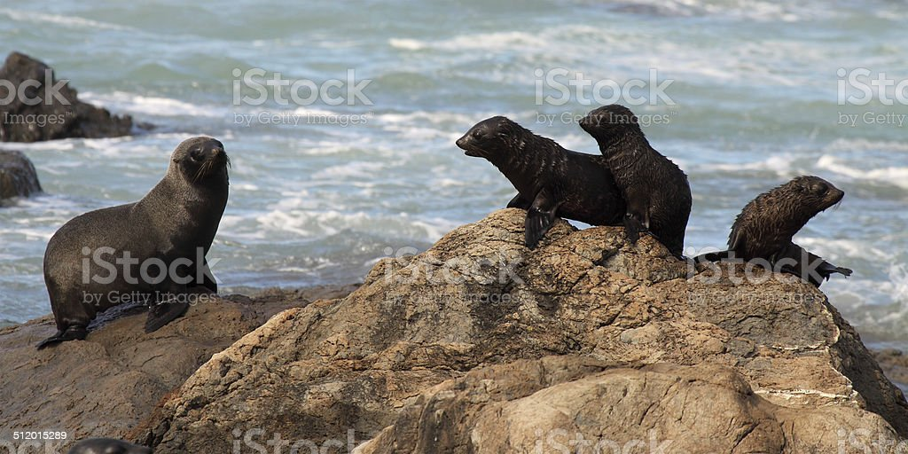 Southern Fur Seal Mother And Babies stock photo